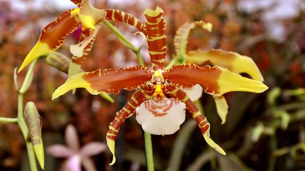 orchidee-dracula-vert-costa-rica