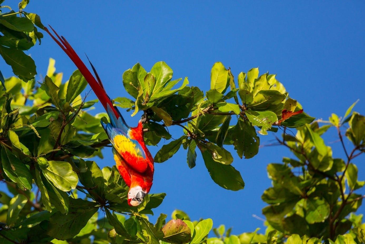 Aras au Costa Rica