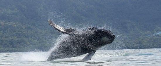 Baleine au Costa Rica
