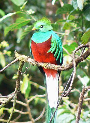 Quetzal au Costa Rica