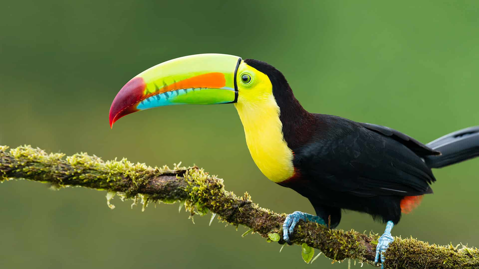 Toucan au Costa Rica