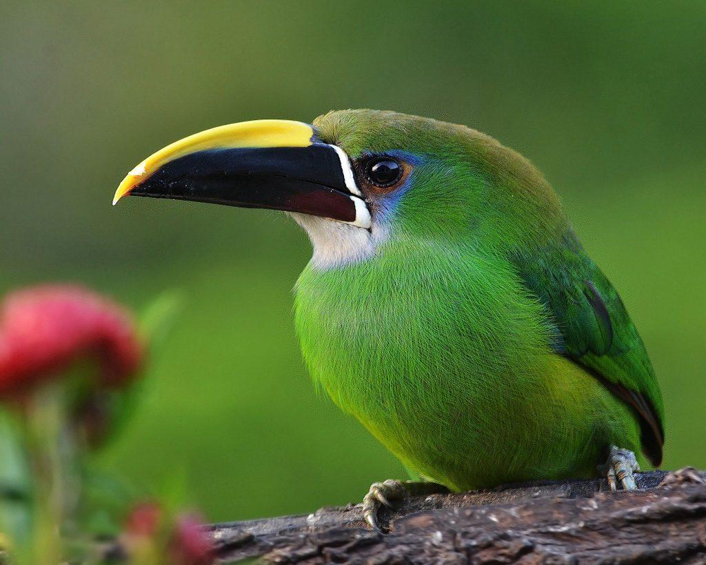 Le toucan au Costa Rica : Célèbre pour son bec et sa beauté