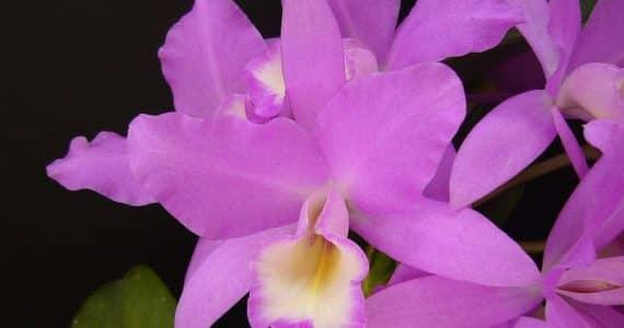 La Guaria Morada : Fleure national du Costa Rica
