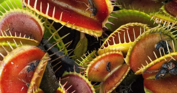 Plantes carnivores au Costa Rica : la plante la plus recherchée pendant la pandémie